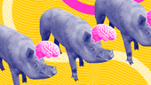 Yale Scientists Kept Brains Of Dead Pigs Alive For Up To 36 Hours